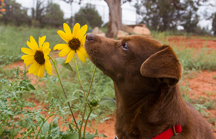 Paco the dog and some sunflowers