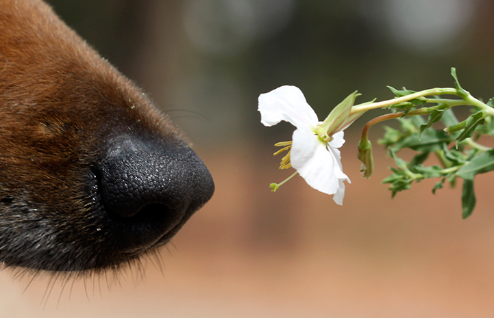 Dog nose smelling a flower