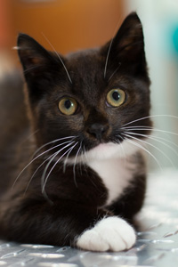 Yoyo, a little tuxedo kitten, started as a foster but was adopted by his foster dad