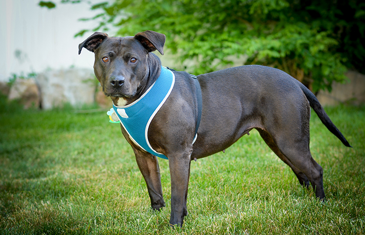 Geneva, the black Labrador retriever and pit-bull-terrier mix, came to Best Friends with health issues