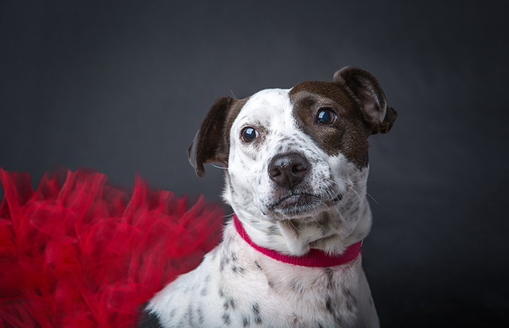 Stella is available for adoption from Wagging Dog Rescue