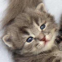 Gray tabby neonatal kitten