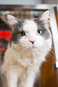 Gary, a mature, grey-and-white cat, didn't look cranky, but he sure acted like it