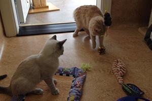 Jordy and Jordanna, playful kittens in Kanab UT play