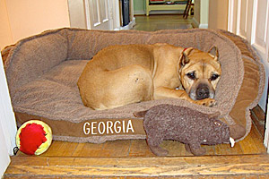 Georgia, who was rescued from Michael Vick's fighting ring, snuggling in bed