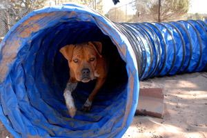 Meryl the Vicktory dog in the agility tunnel