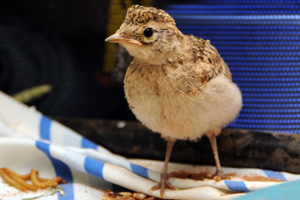 This orphaned bird was originally a mystery