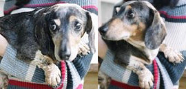 Simon the dog rescued from a puppy mill