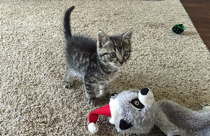 The kitten Dale Wagner saved and fostered