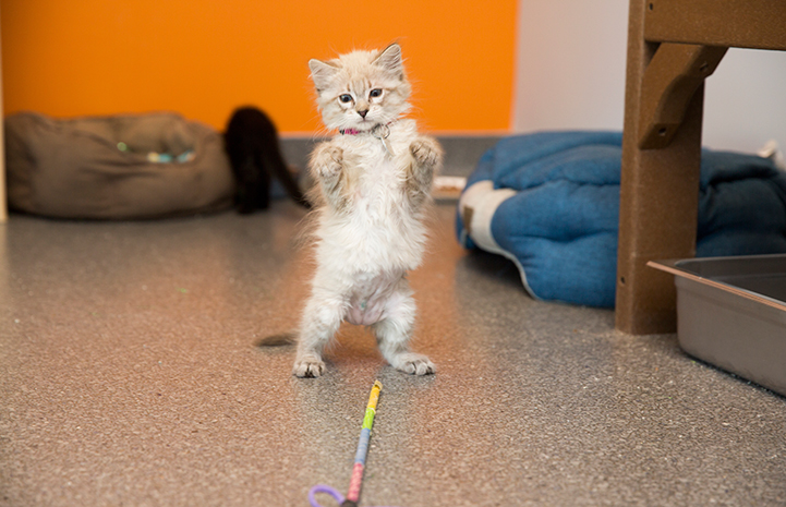 Porcelain the kitten playing