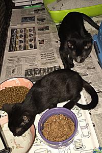 Kitt and Pratt, two FeLV-positive kittens, were rescued thanks to the Philadelphia Community Cats Project