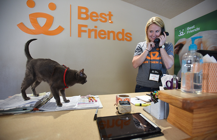 Princess Blue the Korat cat is the Welcome Center queen