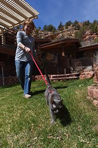 Princess Blue the Korat cat taking a harness walk