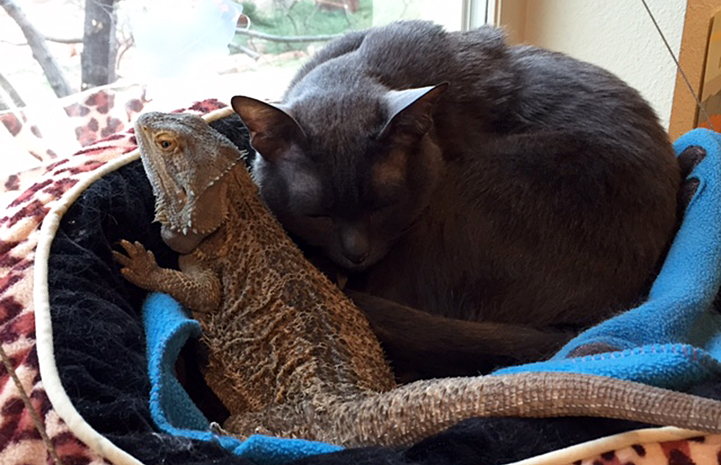 Princess Blue the Korat cat with the bearded dragon