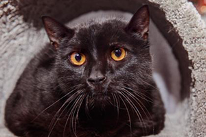 King Kong the all-black adoptable cat