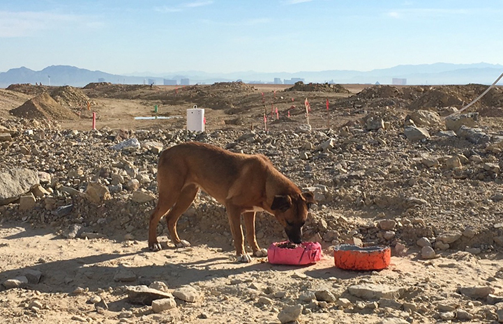 Alma the dog being fed at the construction site
