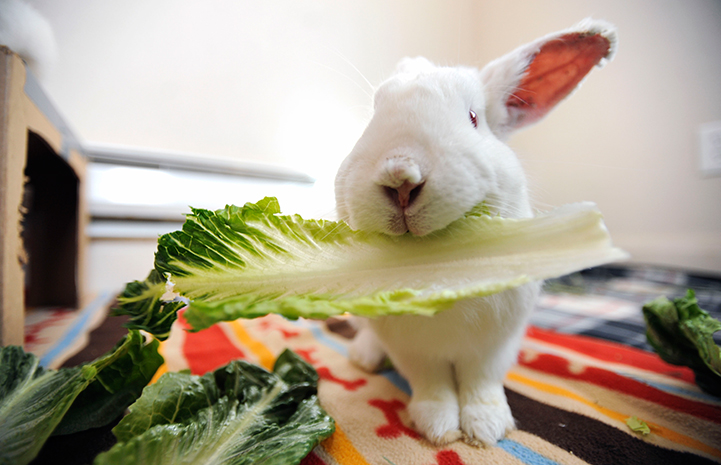 Cupid the rabbit eating romaine lettuce