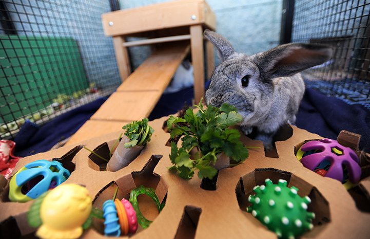 Jessica the rabbit eating cilantro out of a puzzle toy