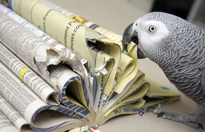 African grey parrot chewing on a phone book