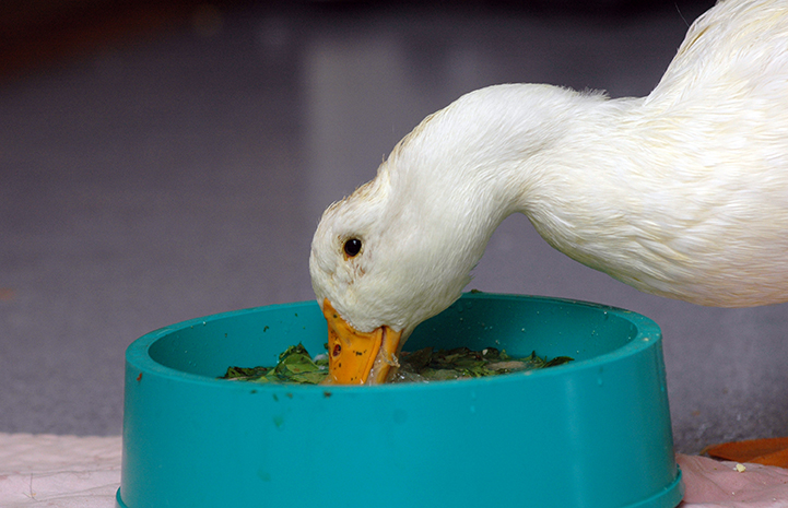 Cedar the duck eating lettuce