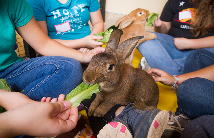 Volunteers feeding lettuce to a rabbit