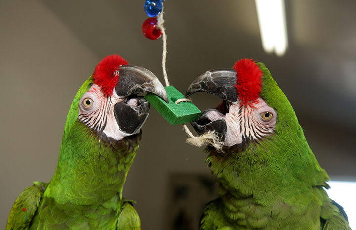 Colonel Potter and Major Houlihan the parrots chewing on a toy