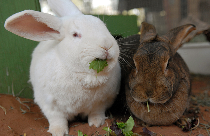 Bunnies eating leafy greens