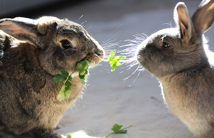 Wilson and Lola the rabbits eating cilantro