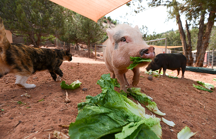 Pig eating lettuce with a cat walking by