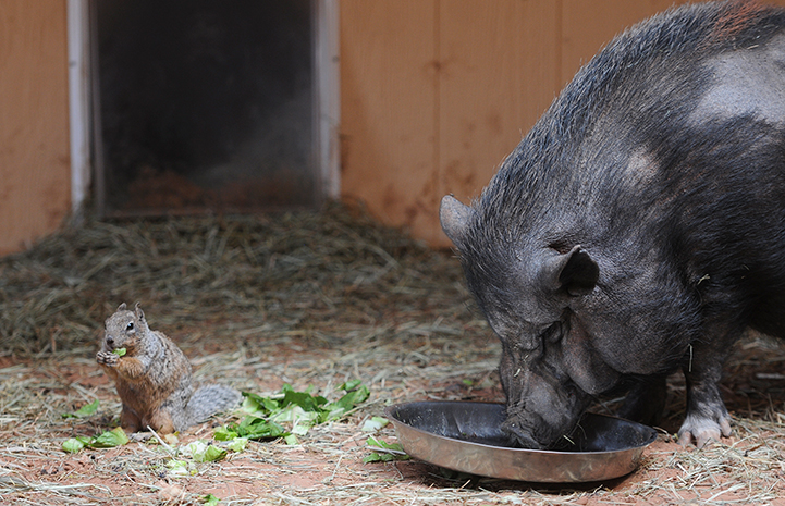 Penelope the pig and a squirrel eating lettuce