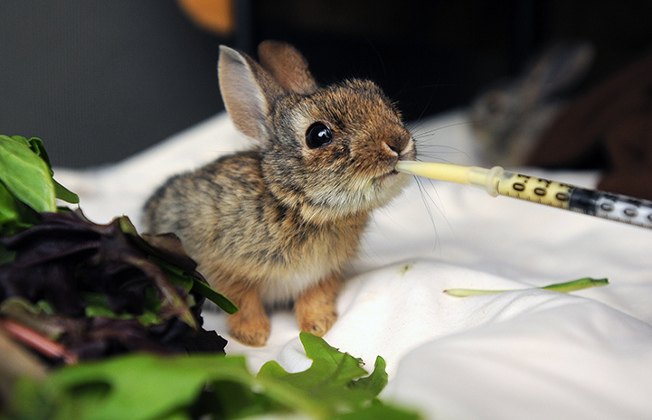 Baby cottontail rabbit being fed from a syringe