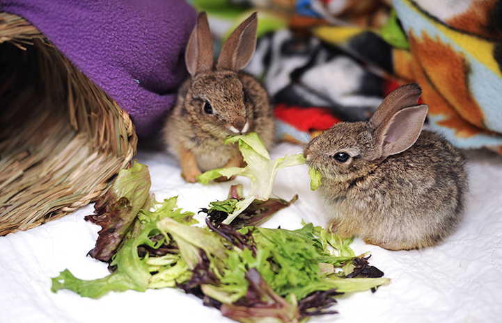 Baby cottontail rabbits eating lettuce