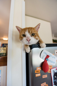McSnuggles the cat who is obsessed with food enjoys hanging out in the kitchen