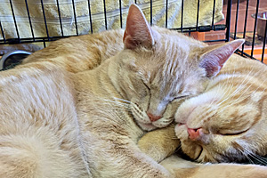 Gru and Nefario are feline littermates adopted together