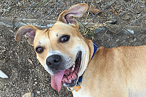Seth the pit bull terrier mix adopted