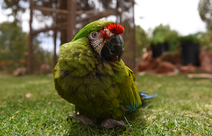 Louie the military macaw's feet aren't shaped like other parrot feet