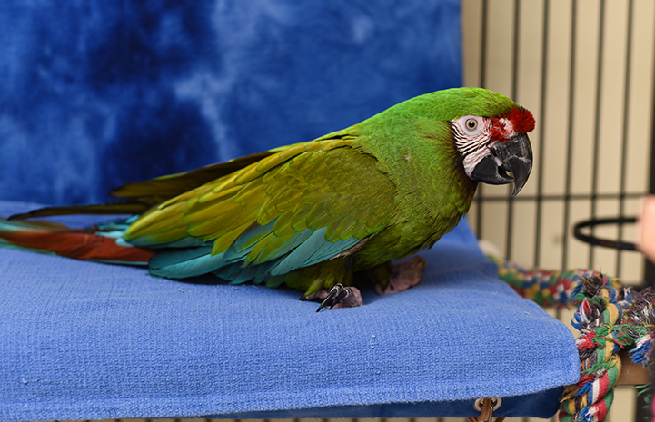 Louie the military macaw with his perch