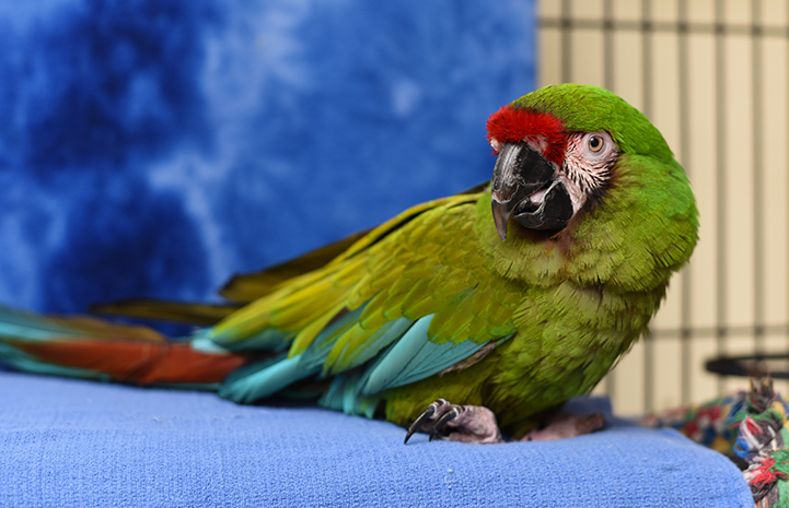 Louie the military macaw