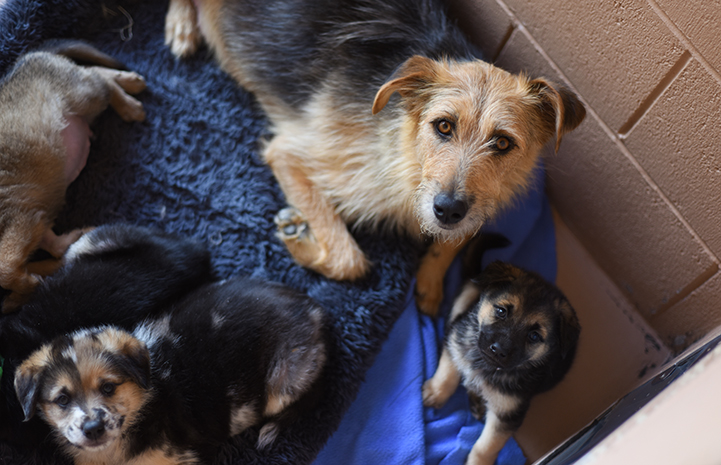 Mama terrier mix dog with litter of pups