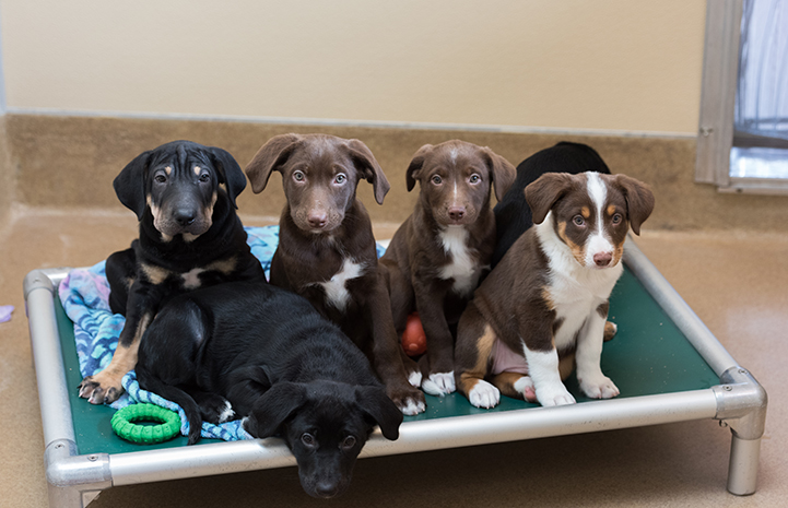 Group of a mixed breed litter of pups lined on Kuranda bed