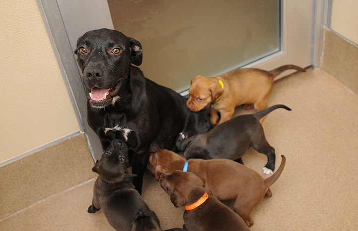 Labrador mix mom dog with her litter of puppies