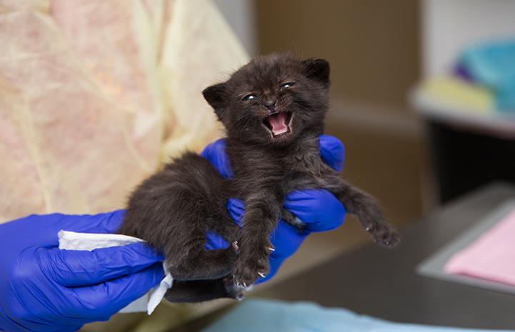 Major the neonatal kitten at the kitten nursery at Salt Lake City