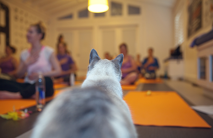 Cat watching women doing yoga