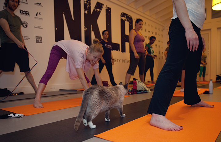 Cat walking by people doing yoga stretching