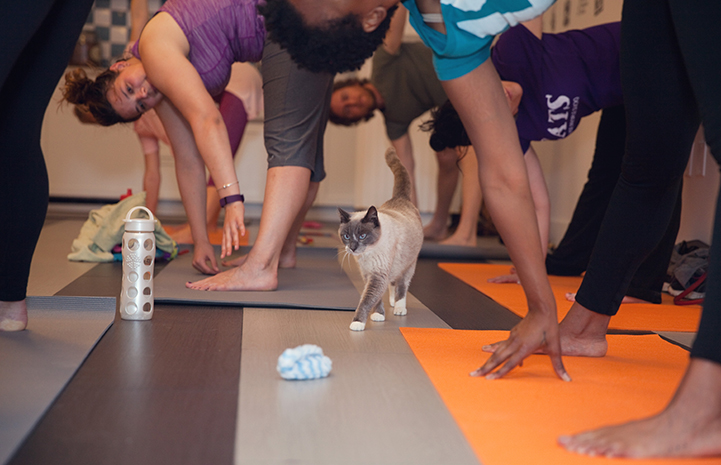 Cat among people stretching for their toes during yoga practice
