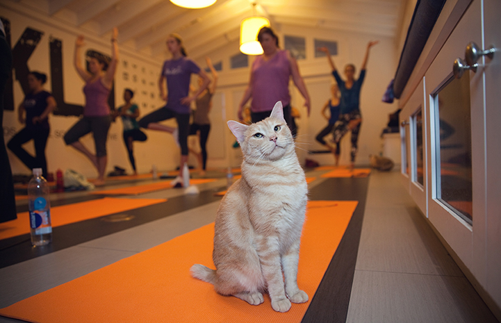 Cat unimpressed by the people around him doing yoga