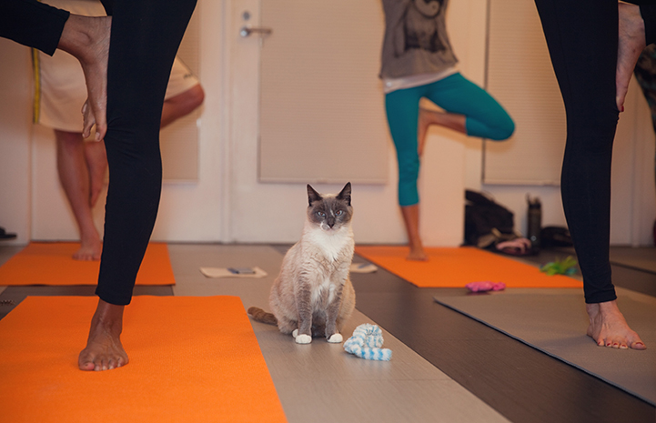 Cat sitting among people practicing a yoga pose
