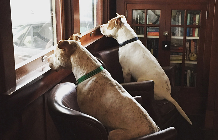Mia and Bailey Bear the pit bull terriers waiting at the window