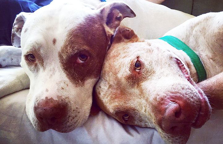 Mia and Bailey Bear the pit bull terriers