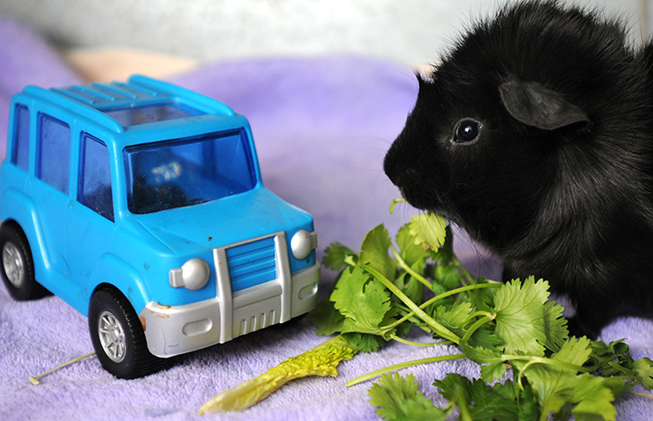 Guinea pig eating cilantro by a toy car
